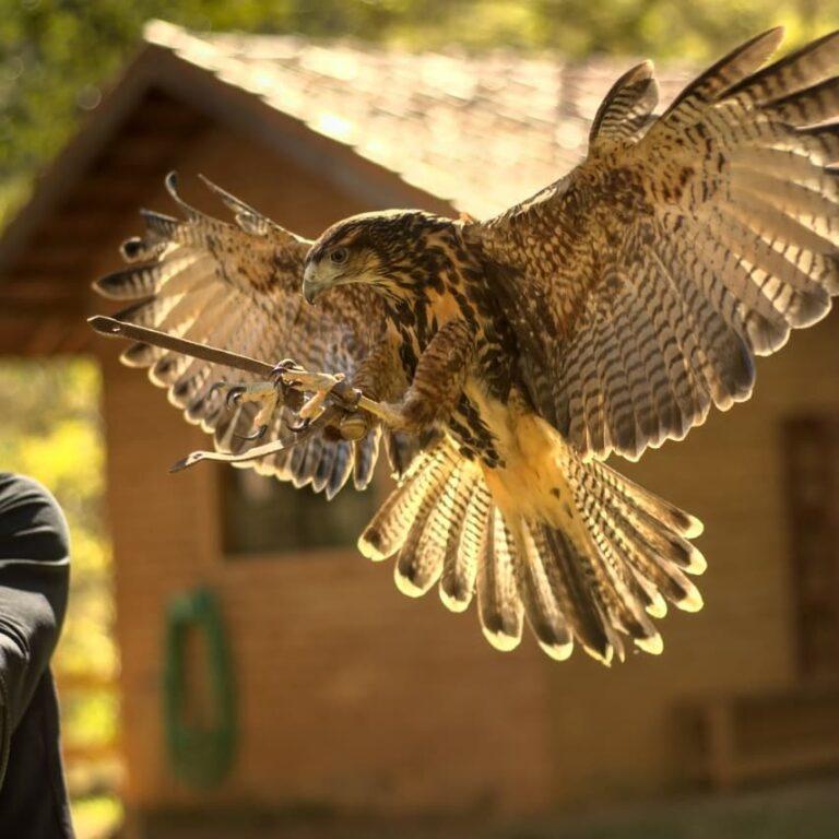 Falcão voando na Escola Falcoaria  em Monte Verde em Minas Gerais